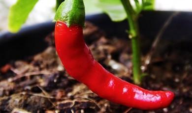 Pimenta Cayene