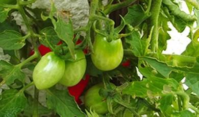 Frutos tomate cereja