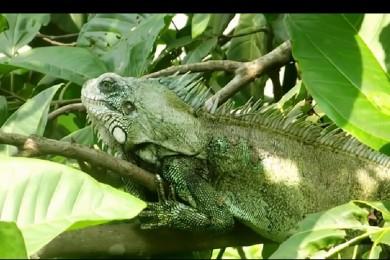 Lagarto Iguana iguana