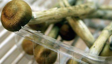 cogumelos mágicos psilocibina